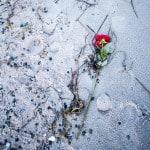 sternenkinder rose